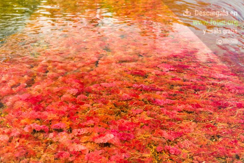Macarenia Clavigera, la planta acuática de Caño Cristales  / Fotografía por Mario Carvajal
