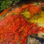 Macarenia Clavigera Detalle de la planta acuática  / Fotografía por Mario Carvajal